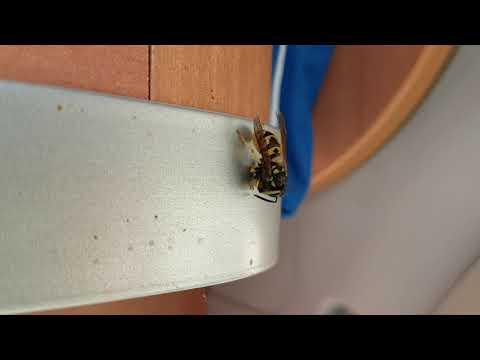 Wespe schneidet Fliege Beine und Flügel an