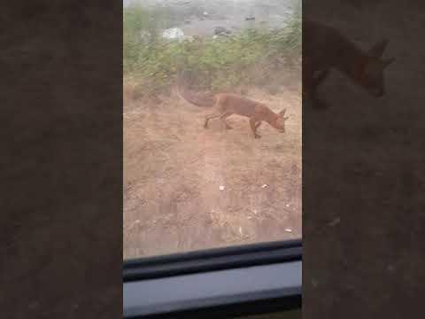 Fuchs direkt am Wohnmobil